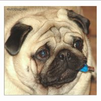 Valli, the USB pug