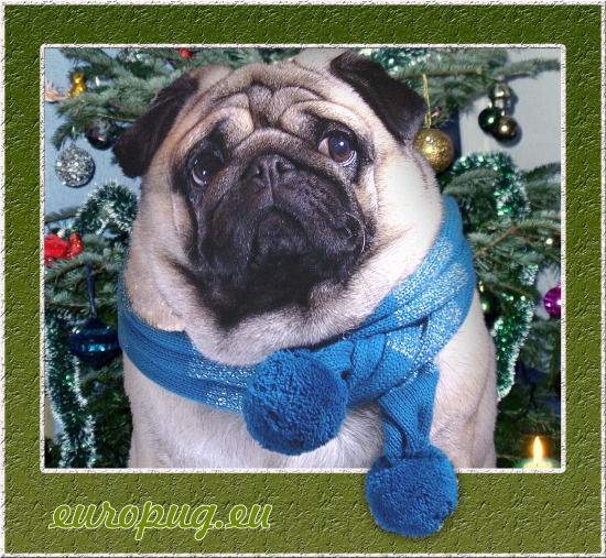 pug waiting for cristmas