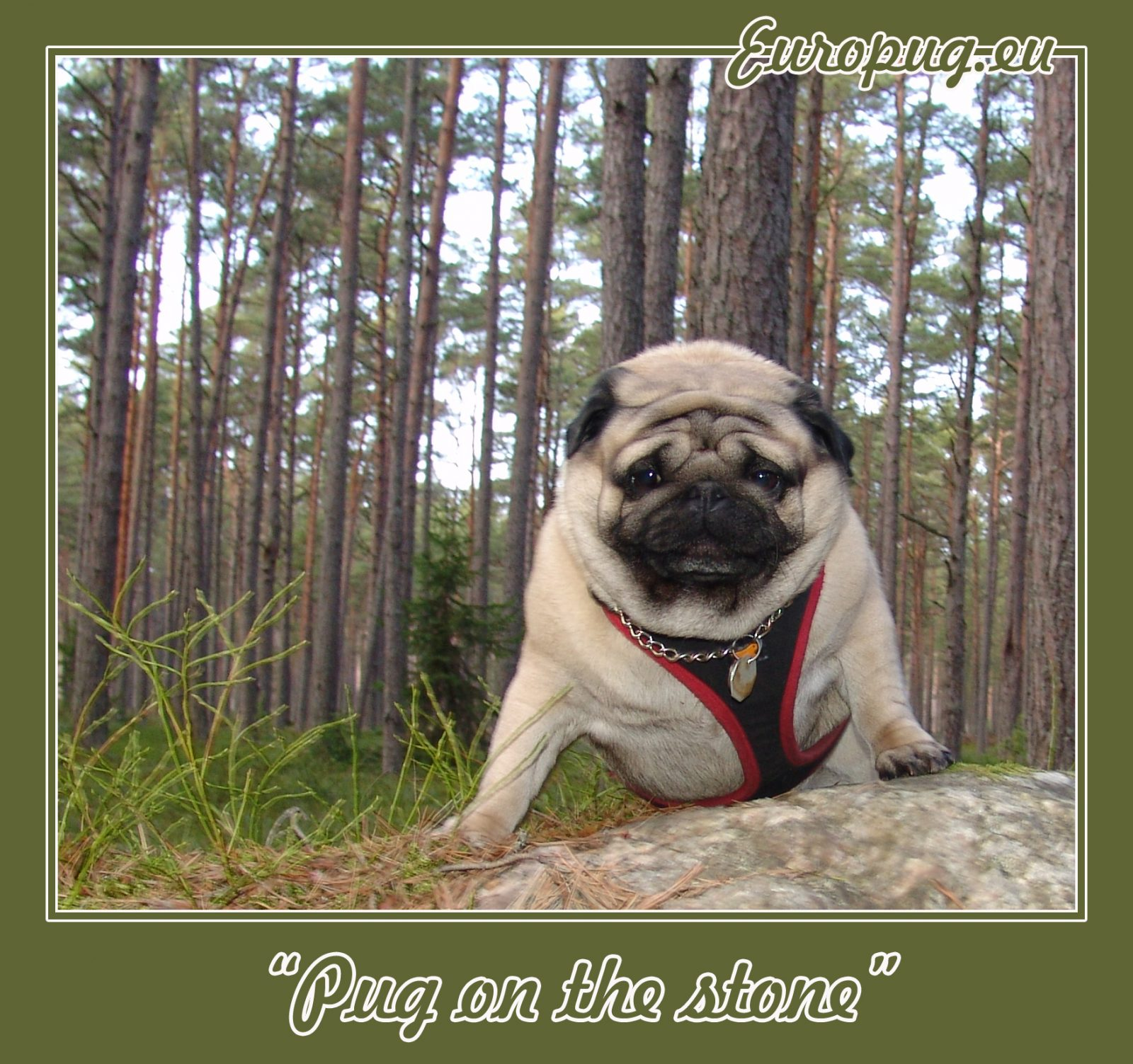 Pug on the stone