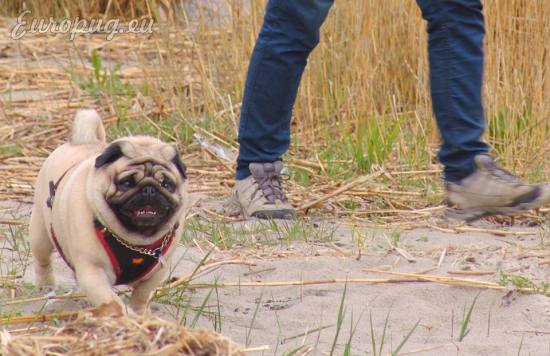 The Pug Walking On Bog Trail Gifts For Pug Lovers