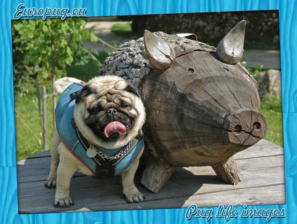 Pug With Pig Gifts For Pug Lovers