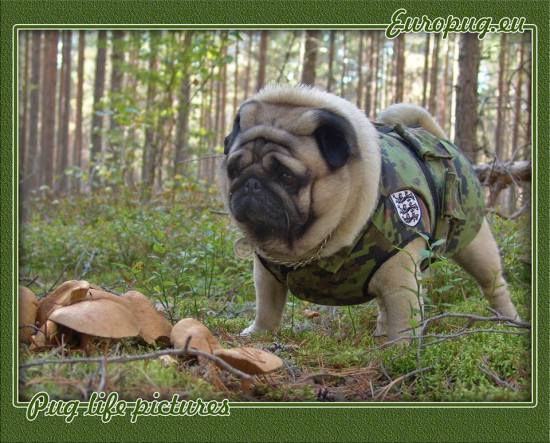 pug-life-forest