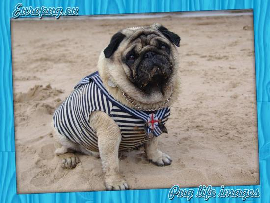 pug-sailor-dress