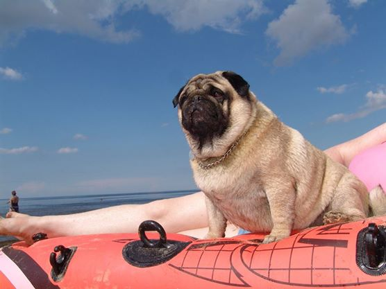 Travel Dog Bed >> Pug sunbathing on boat — Gifts For Pug Lovers
