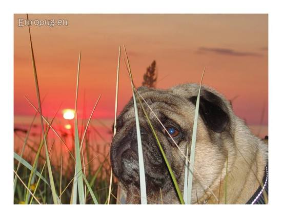 lovely-pug-summer2