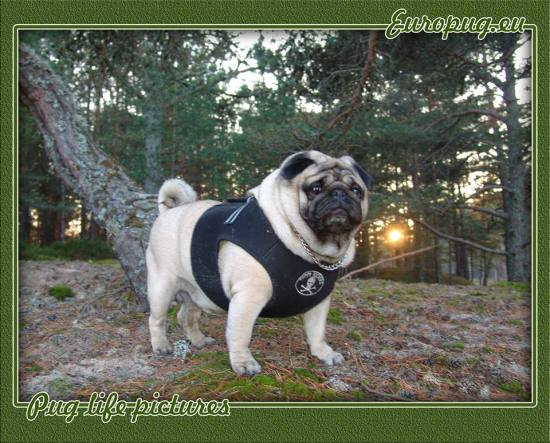 pug-forest