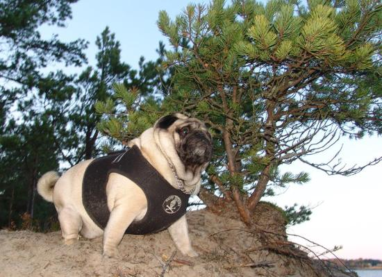 pug-forest6