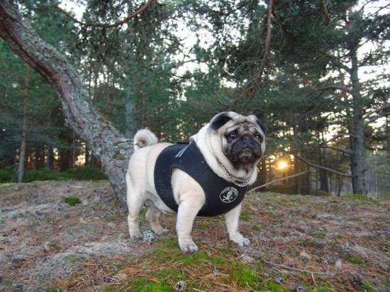 pug-forest8