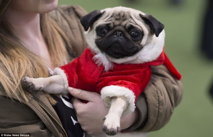Merry_pugmas_A_Christmas_party_was_held_for_pugs_and_their_owner