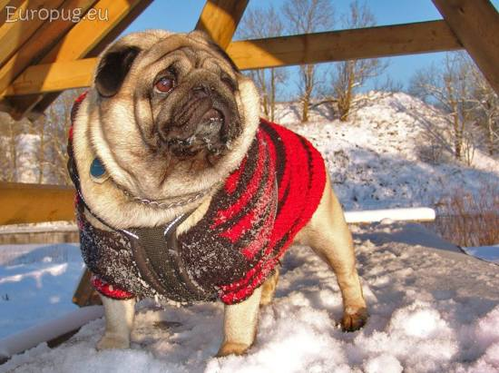 frost-pug