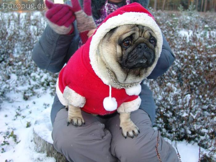 northern-land-pug3