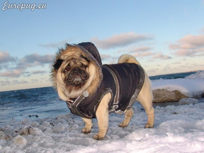 pug-winter-titanic3
