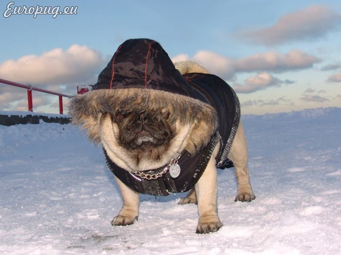 pug-winter-titanic4
