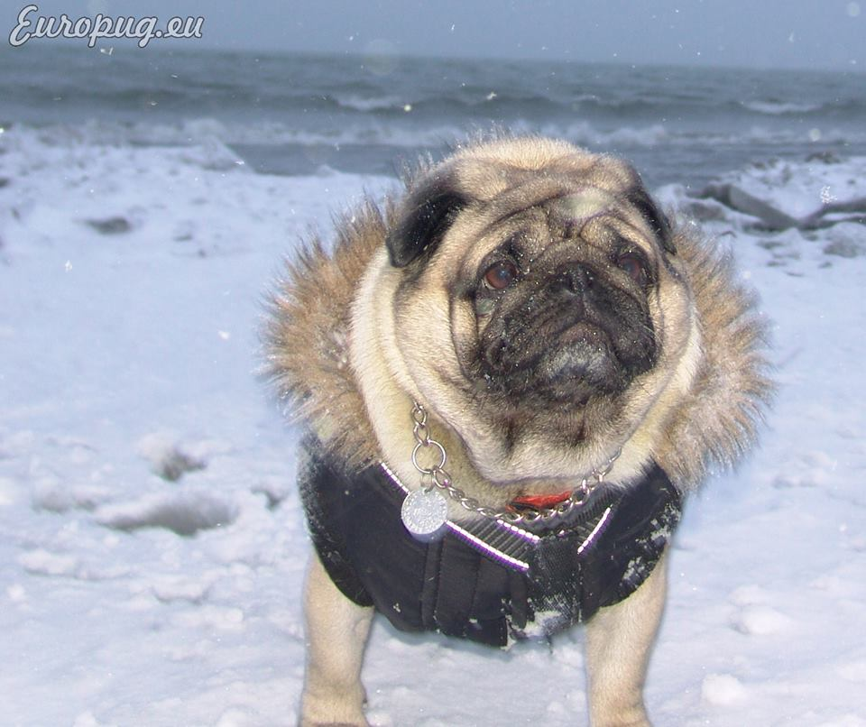 Pug Storm Photo Gallery Gifts For Pug Lovers