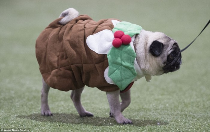 Dressing_up_More_than_50_barking_mad_dog_owners_threw_a_Christmas
