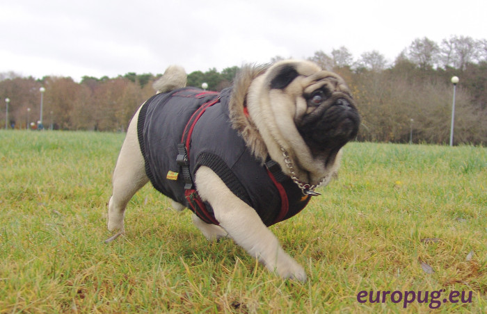 pug-run-outdoor