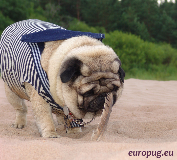 pug_beauty_coat