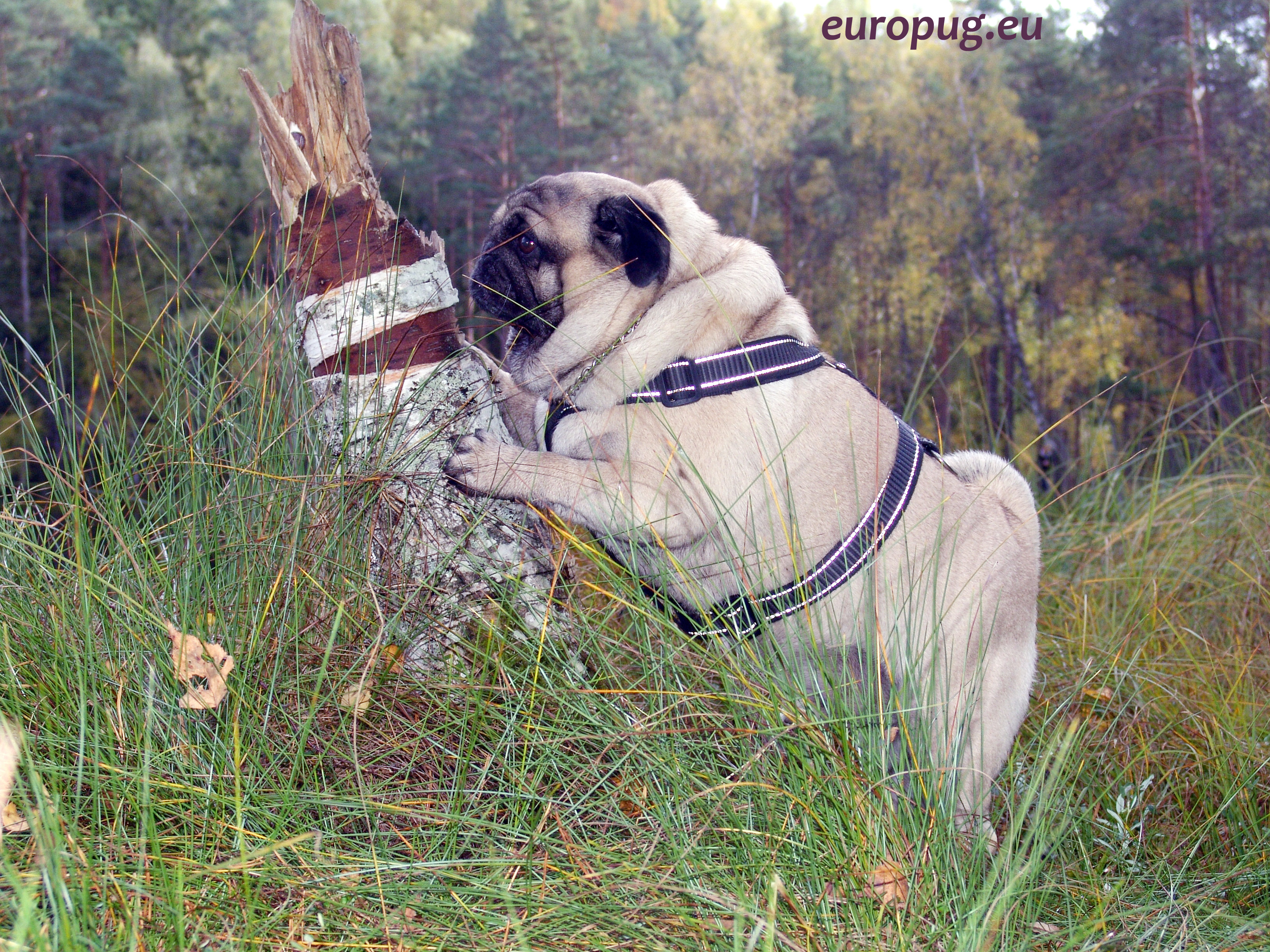 Pug Licking Bark Of A Tree Gifts For Pug Lovers
