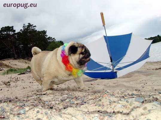Hawaiian-Pug-4