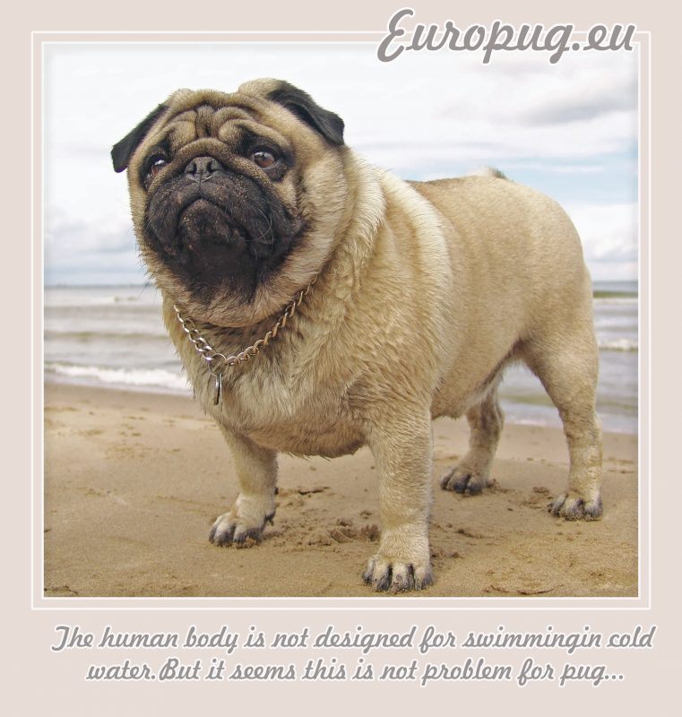The human body is not designed for swimmingin cold water.But it seems this is not problem for pug..