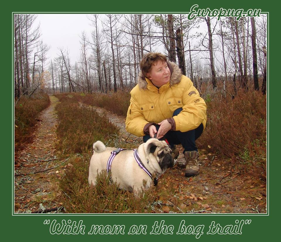 Euro pug with mom on the bog trail