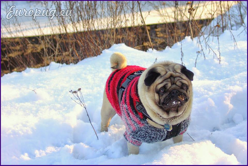 Frozen Pug Land — Gifts For Pug Lovers