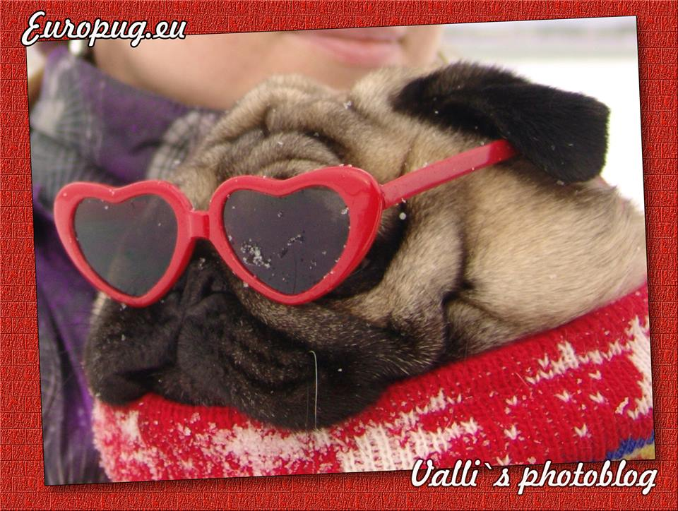 Funny pug-mops in glasses