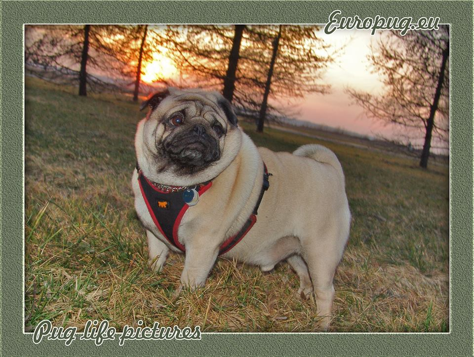 """Euro pug says """"Autumn is coming"""""""