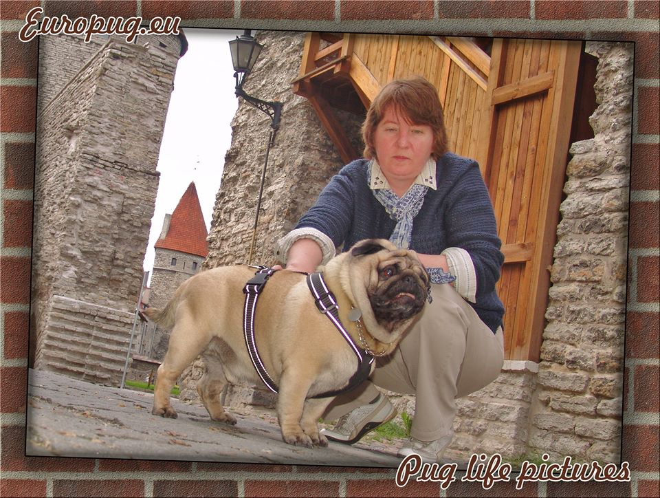 Pug walks in the medieval town