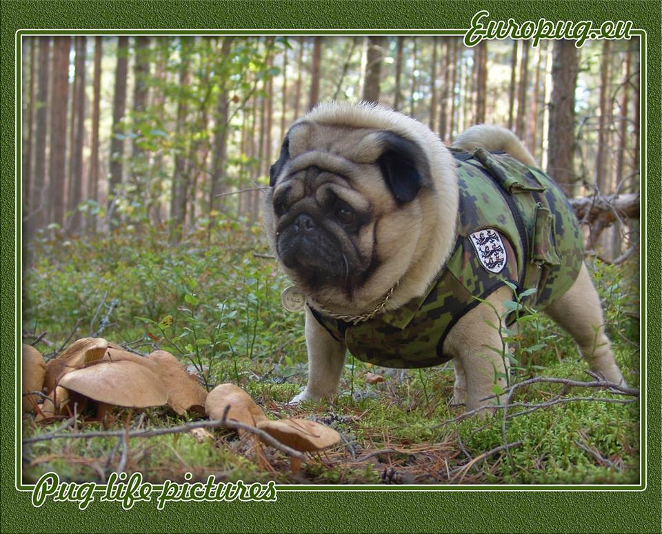 Pug forest life