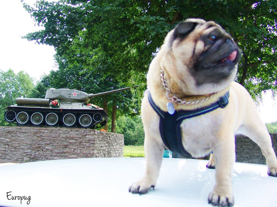 Even pugs, look at this guy!