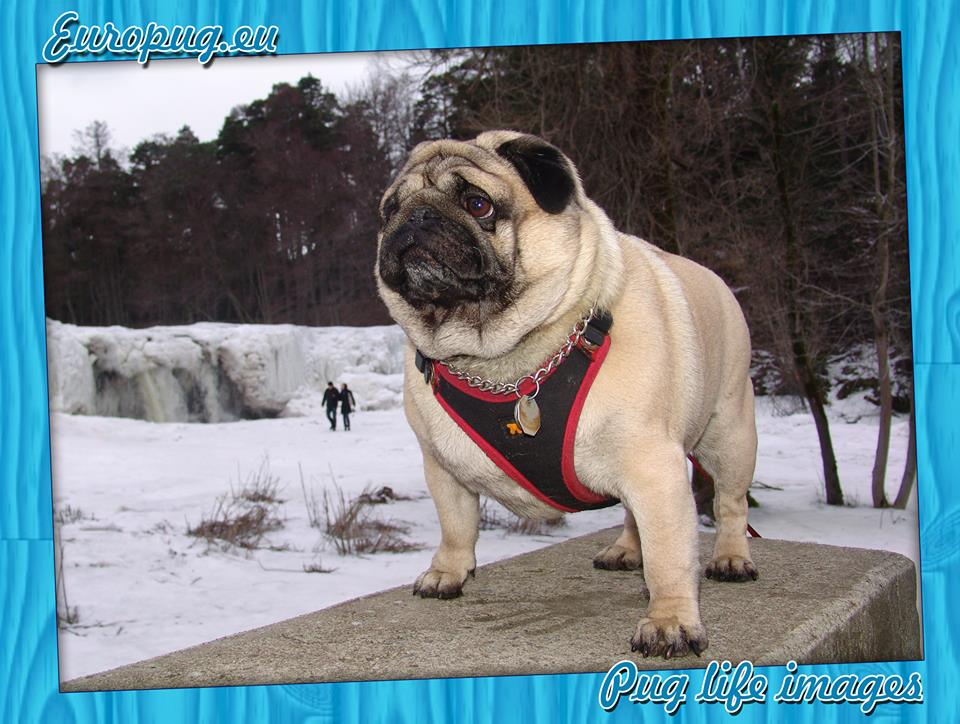 Regal pug in the winter