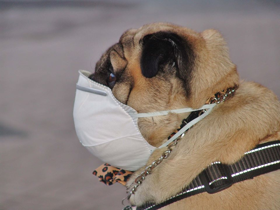 Muzzle For Pug Gifts For Pug Lovers