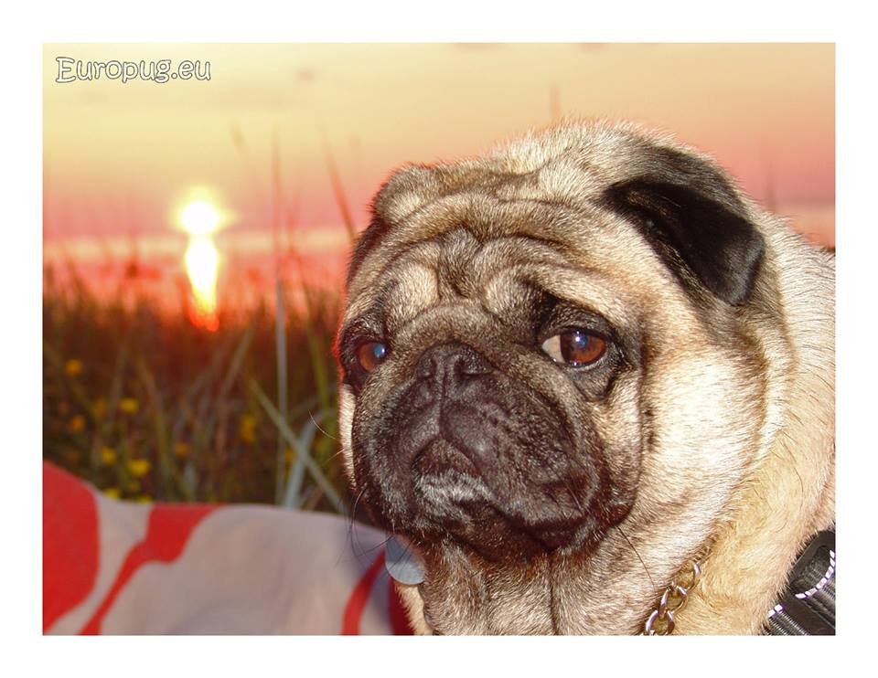 Lovely evening with pug