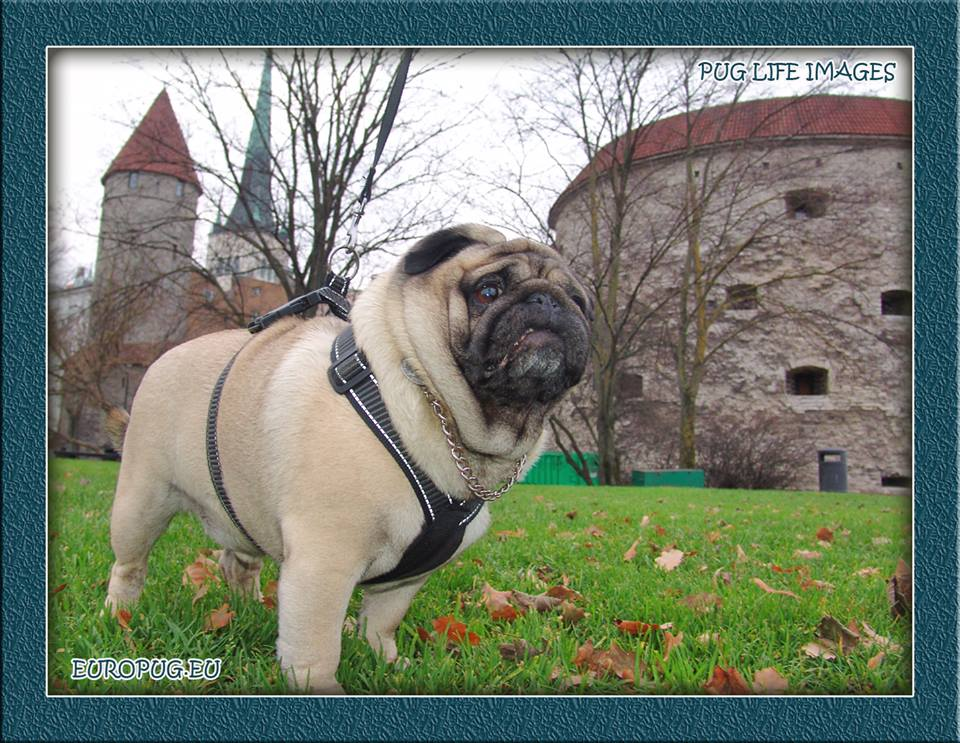 A walking with pug in hometown