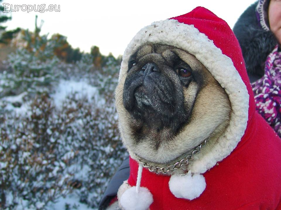 Pug in northern land