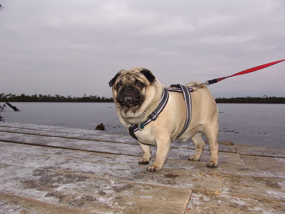 Pug Valli walks in any weather ...