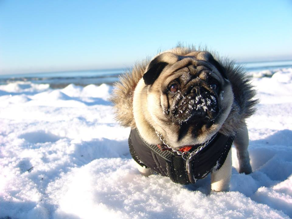 Pug On The Winter Snow Beach Gifts For Pug Lovers