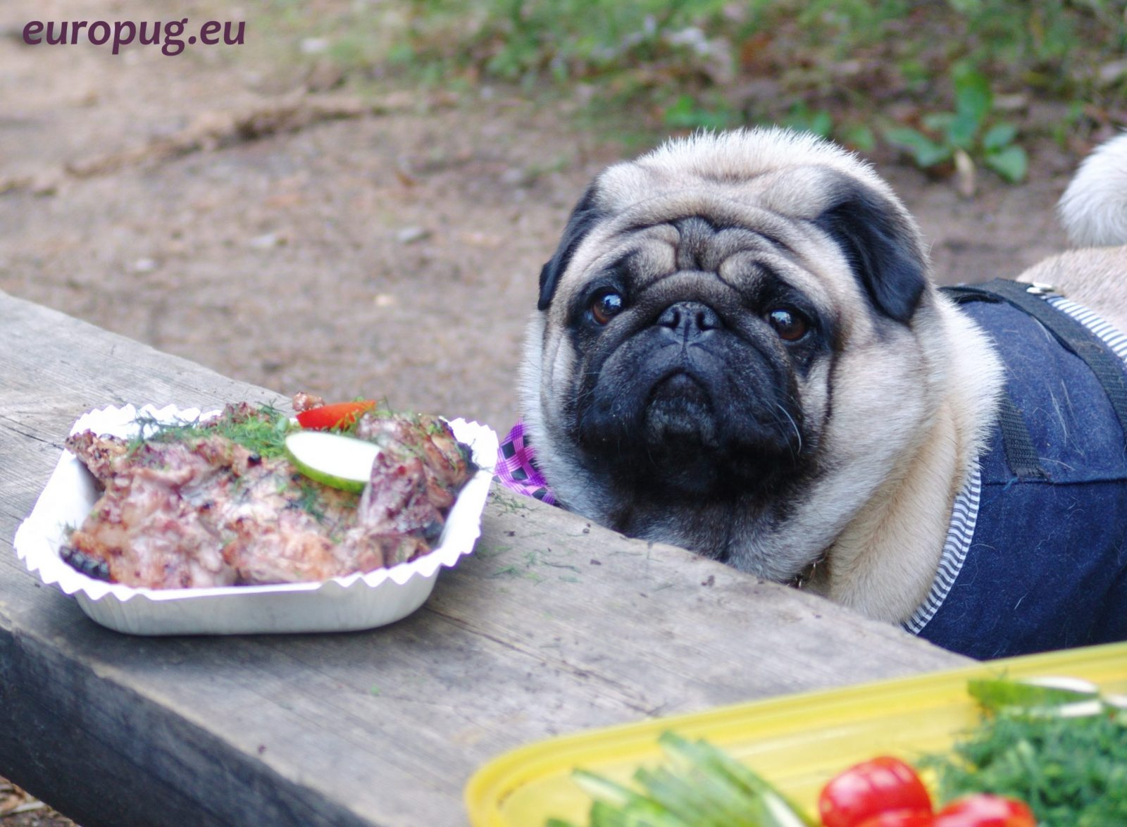 Pug and a bench with meat