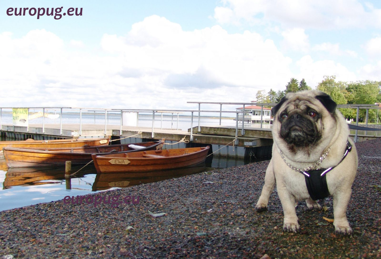 Pug on the boardwalk in Haapsalu