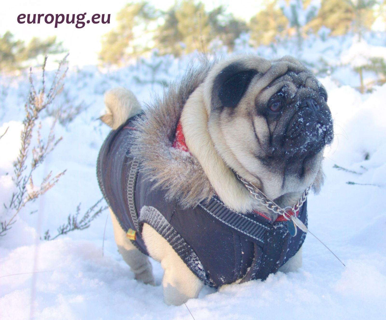 Cold snow and hot pug