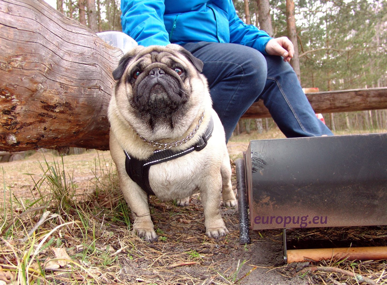 The pug Valli at outdoor
