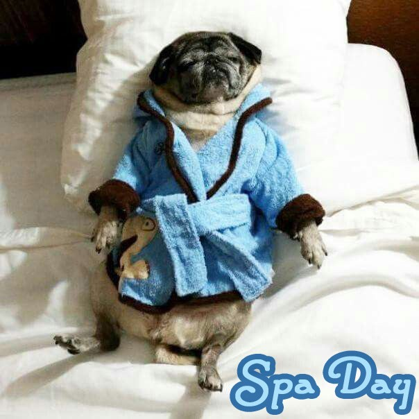 This pug is enjoying a good day spa