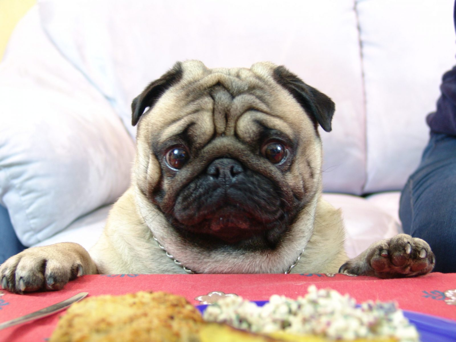Pug Valli and delicious Christmas meal