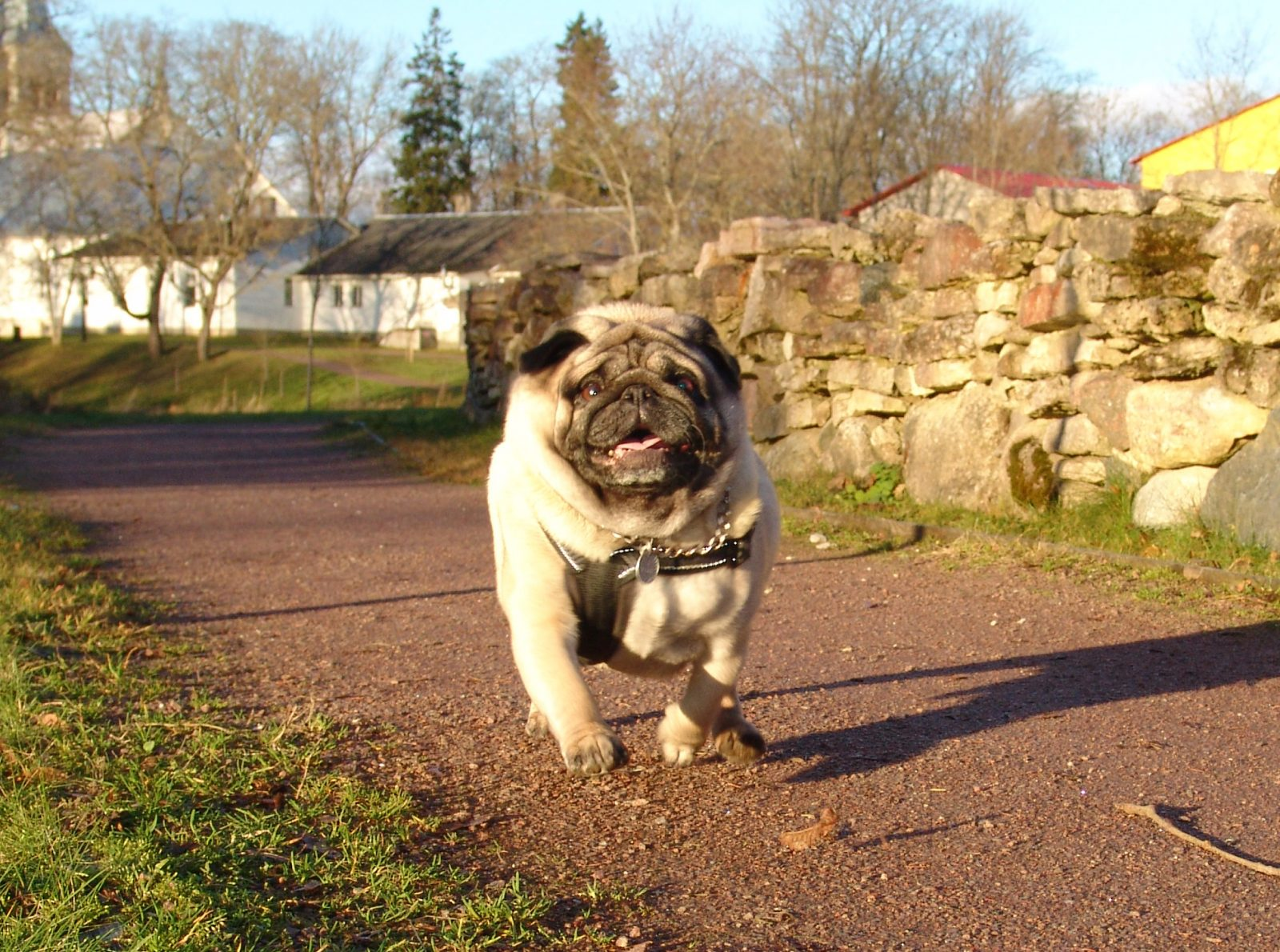 Joyful pug running in a park in the town of Rapla