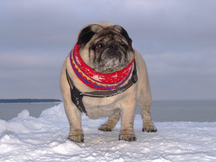 Pug Dog Loves Winter Gifts For Pug Lovers